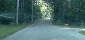 Deer and fawn Aug 2014