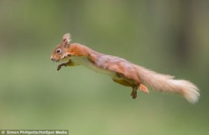 Squirrel leaping by Simon Phillpotts
